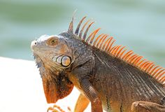 Animal multicolore masculin d'iguane vert bel, reptile coloré en Floride du sud photographie stock libre de droits