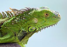 Animal multicolore masculin d'iguane vert bel, reptile coloré en Floride du sud photo stock