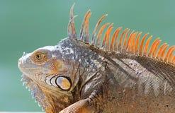 Animal multicolorido bonito masculino da iguana verde, réptil colorido em Florida sul fotos de stock