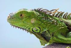 Animal multicolorido bonito masculino da iguana verde, réptil colorido em Florida sul imagem de stock
