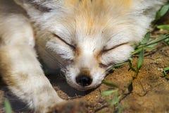 Animal muzzle of a fox who sleeps Stock Photo