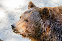 Animal muzzle of a large brown bear predator Stock Photos