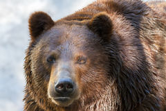 Animal muzzle of a large brown bear predator Stock Images