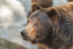 Animal muzzle of a large brown bear predator Stock Image