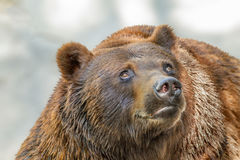 Animal muzzle of a large brown bear predator Royalty Free Stock Photography