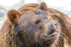 Animal muzzle of a large brown bear predator Royalty Free Stock Photo