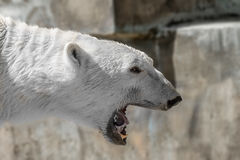 Animal muzzle of a large polar bear predator Stock Image