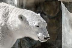 Animal muzzle of a large polar bear predator Stock Image