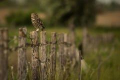 Little Owl Athene noctua sitting on a fence royalty free stock photos