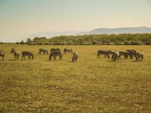 Animal nature and wildlife group of different herbivore animals. In kenya Stock Photography