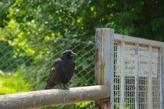 Animal negro del cuervo del pájaro del cuervo Foto de archivo libre de regalías