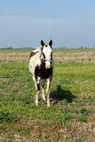Animal no campo de Argentina Imagens de Stock Royalty Free