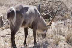 Animal no safari África do Sul imagens de stock royalty free
