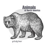 Animal of North America Grizzly bear. Royalty Free Stock Image