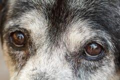 Animal - Old dog. labrador retriever Royalty Free Stock Photos