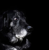 Animal - old dog Royalty Free Stock Image