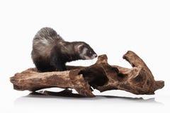 Animal. Old ferret on white background Stock Photo