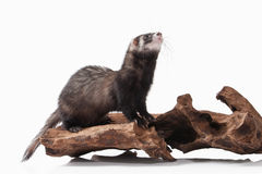 Animal. Old ferret on white background Royalty Free Stock Images