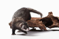 Animal. Old ferret on white background Royalty Free Stock Photo