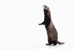 Animal. Old ferret on white background Royalty Free Stock Photos