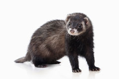 Animal. Old ferret on white background Royalty Free Stock Photography