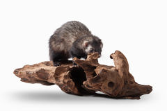 Animal. Old ferret on white background Royalty Free Stock Photography