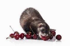 Animal. Old ferret on white background Stock Image