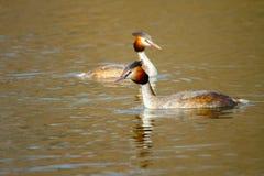 Animal pair of wild birds Podiceps cristatus floating on water. Image of an animal pair of wild birds Podiceps cristatus floating on water royalty free stock photos