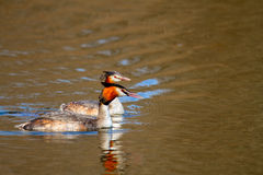 Animal pair of wild birds Podiceps cristatus floating on water. Image of an animal pair of wild birds Podiceps cristatus floating on water royalty free stock images