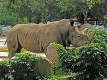 Animal Park - White rhinoceros. Rhinoceros that sunbathe with his head resting on the rocks Stock Images