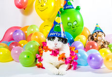 Cat. Black and white cat in animal party surrounded by colorful balloons, with hat and Hawaiian flower necklace, on white background Stock Images