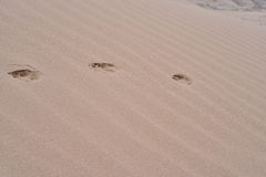 Animal path of footprints. Animal foothpath in the desert sand Royalty Free Stock Image