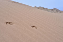 Animal path of footprints. Animal foothpath in the desert sand Royalty Free Stock Photos