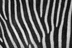 Animal pattern background of black and white striped zebra fur Royalty Free Stock Image