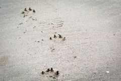 Animal, paw print on a sandy beach. Dog paw print on a sandy beach royalty free stock photography