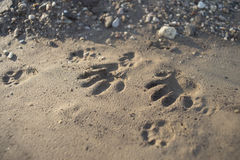 Animal Paw Print Stock Image
