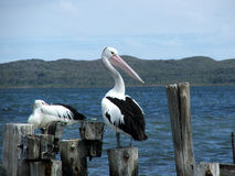 Animal - Pelican. Pelicans sit on old jetty stock photos