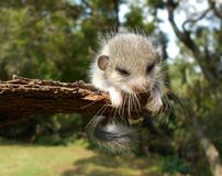 Animal peludo pequeno Fotos de Stock Royalty Free