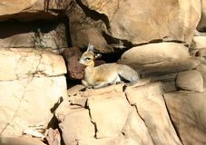 Animal pequeno Fotos de Stock Royalty Free