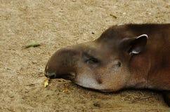 Animal perezoso el dormir Imágenes de archivo libres de regalías