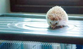 Animal Pet Care Love concept, cute white brown hedgehog on the box.  Royalty Free Stock Photos
