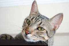 The Animal Pet Cat Royalty Free Stock Images