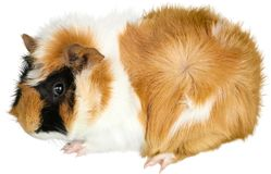 Guinea Pig. Animal pet cute rodent hairy mammal guinea pig Royalty Free Stock Images