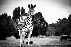 Animal, Photography, Black-and-white Royalty Free Stock Image