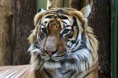 Animal Photography of Orange and Reddish Tiger Stock Photos