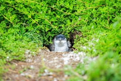 Animal: Pinguim em Austrália Foto de Stock