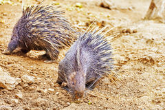 Animal Porcupines. Stock Image