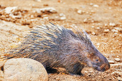 Animal Porcupines. Royalty Free Stock Photography