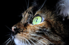 Animal portrait of a cat with green eyes Stock Photos