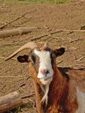 Animal portrait of a goat with one horn Capra aegagrus hircus. Animal portrait of a domestic goat with one horn, curiously looking at the viewer, selective focus Stock Photo